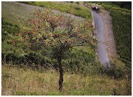 mirabellenbaum - Google-Suche
