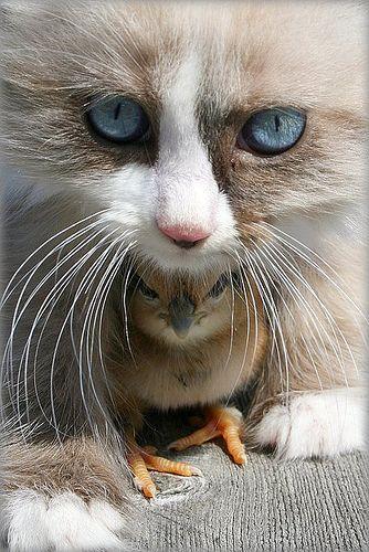friendsAnimal Friendship, Cat, Pets, Black White, Kittens, Birds, Kitty, Baby Chicks, Cutest Animal