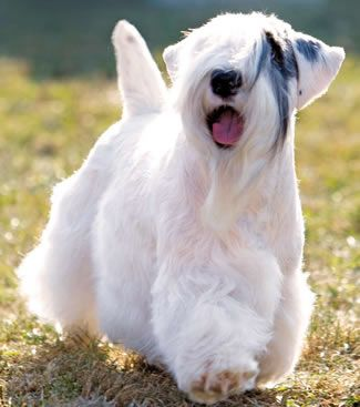 the sealyham is one of the rarest dogs in the uk now. in spite of its friendly, kind nature, it's simply been forgotten and the remaining few breeder's prices don't help.  We have one of these... its a yappy pain in the ass