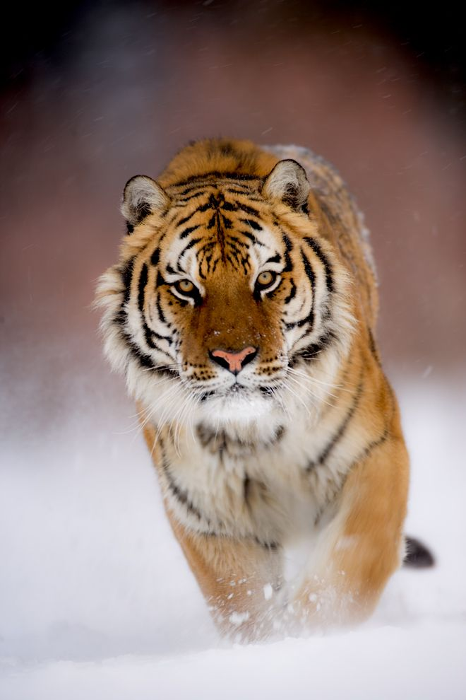 Tiger in snow (by Catman Suha). The tiger (Panthera tigris) is the largest of…