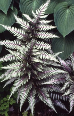 "Japanese Painted Fern ""Silver Falls"" - contrast well with hostas and other shade plants."
