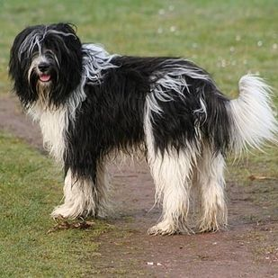 Schapendoes   21 Awesome Dog Breeds You've Never Heard Of And Need To Know About Immediately