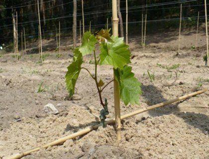 Уход за виноградом (полив, удобрение, календарь виноградника)
