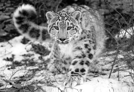 The incredibly beautiful snow leopard (Panthera uncia) is indigenous to the mountains of Central Asia. Their dense coats and snowshoe-like paws are ideally suited for their cold, dry, rocky native environment. These shy, elusive cats, when fully grown, weigh up to 120 pounds and nose to tip of their very thick, furry tails measure up to 7-1/2 feet long. Sadly, these phenomenal cats are an endangered species.    This photograph was taken by Stephen Woach.