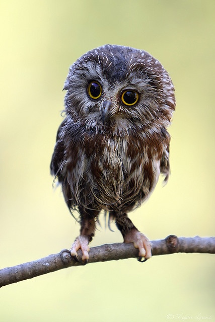 Northern Saw-Whet Owl... one of my favorite owls