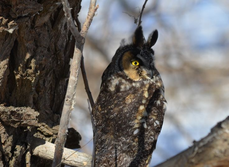 A long-eared owl, Tommy Thompson Park, Toronto