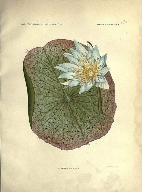 vintage botanical print | The Waterlilies. 1905.