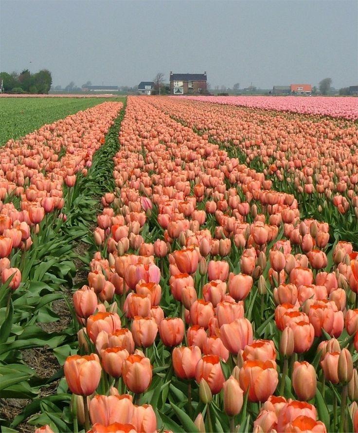 Tulip Apricot Impression Impression Tulips