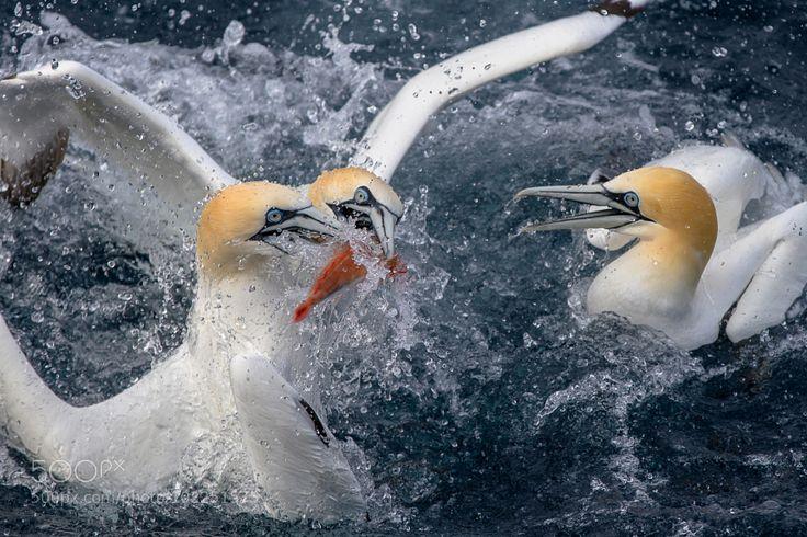 Gannets by ireid195