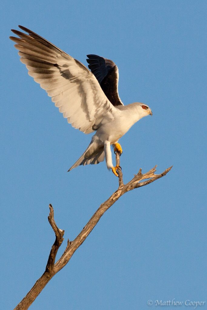 Black shouldered Kite coming in for landing