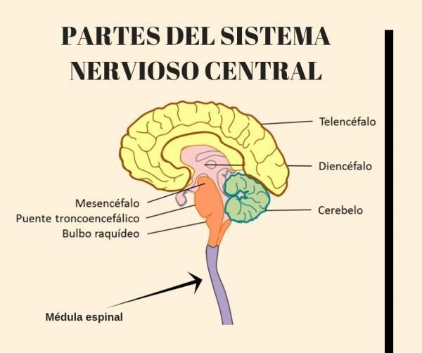 Sistema Nervioso Central Funciones Y Partes Partes Del Sistema Nervioso Anatomia Del Cerebro Humano Partes Del Sistema Nervioso Dibujo Del Sistema Nervioso