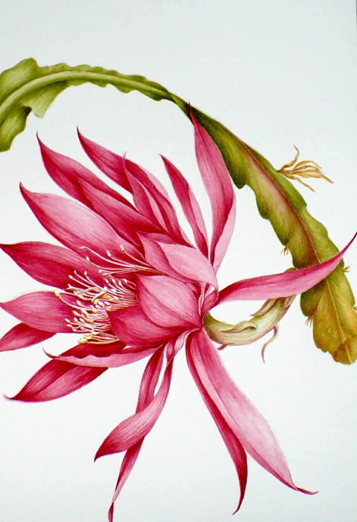 Botanical illustration of a heliocereus watercolor for Botanic fleurs artificielles