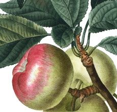 This is a Wonderful VintageBotanical Apples Image! Shown here is a gorgeous branch with 4 perfect Green and Red Apples on it. Make sure you enlarge this to see the detail on this nice Botanical! A nice Antique Fruit Image for your Garden themed Craft Projects! For even more lovely Vintage Flower Images, be sure...Read More »