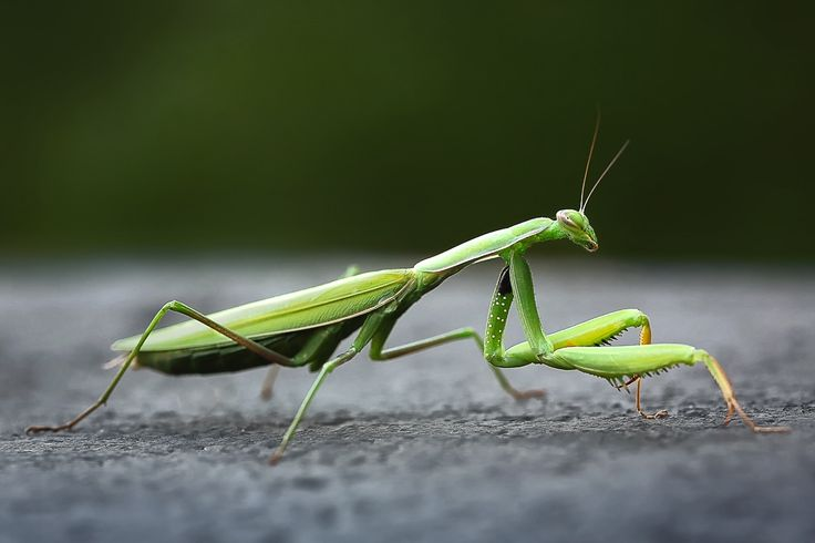 Mantis by Geoffrey Gilson on 500px