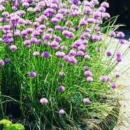 Onion Chives from Bonnie Plants. These make a gorgeous garden border or edging for a pathway.