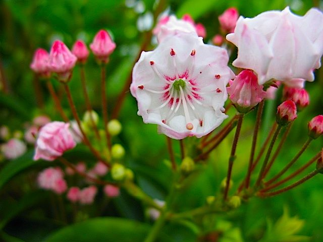 » June Flowering Shrub Spotlight : Our Native Mountain Laurel, Kalmia Latifolia…
