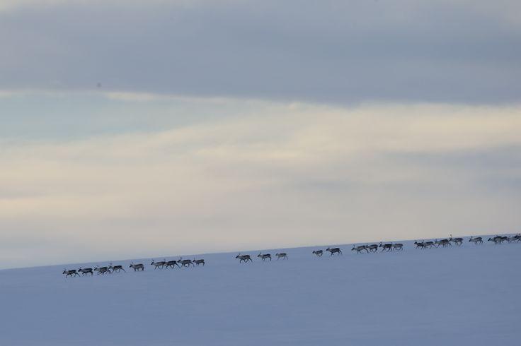 Reindeers on varangerhalvöya