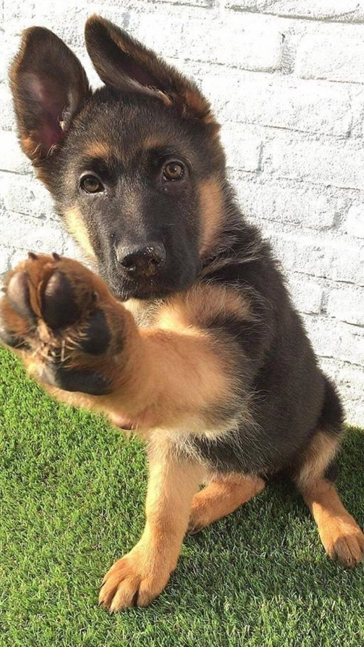 I like you, give me high-5 if you happen to love me. #cutepuppyiloveyou