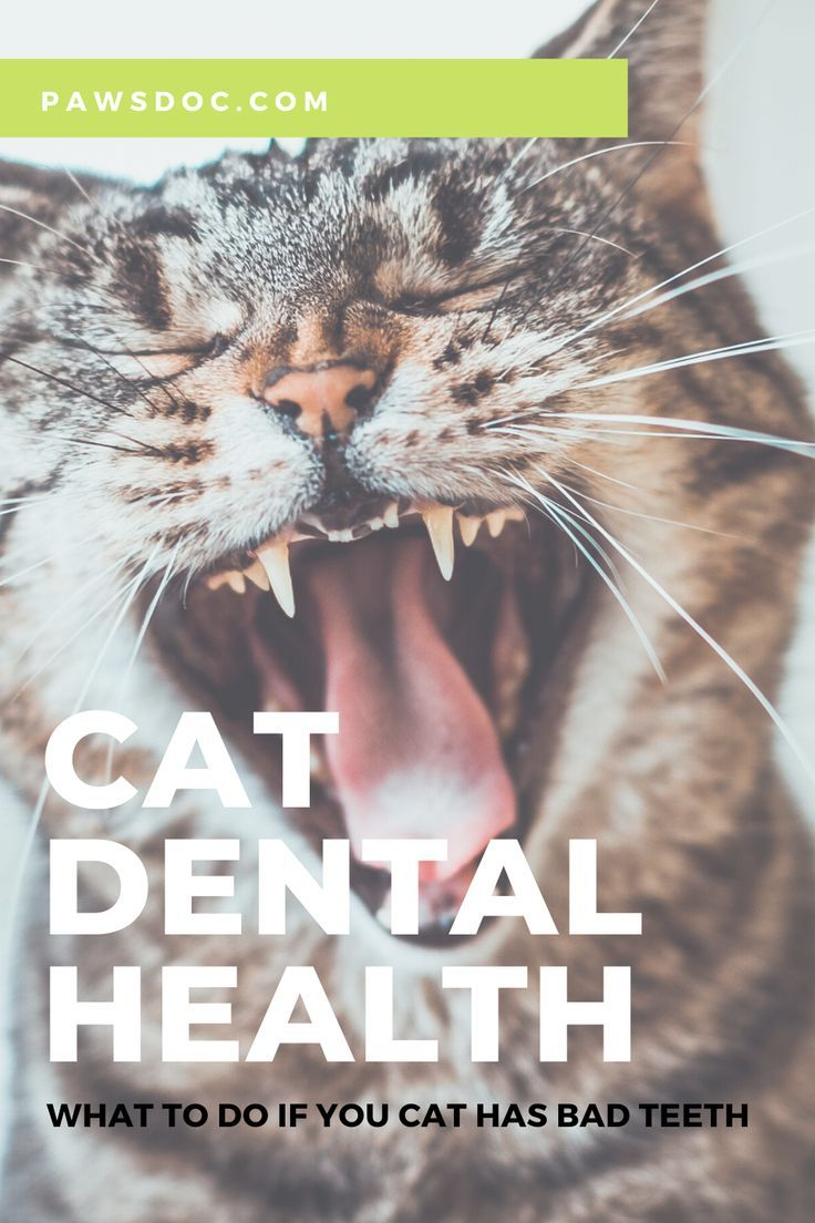 Cat Dental Disease I Symptoms Causes And Prevention In 2020 Cat Dental Health Cat Skin Problems Pet Care Dogs