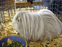 Peruvian Guinea Pig ~ One day I m going to have 3 of these; Penelope, Evangeline, and Prince Harry =)