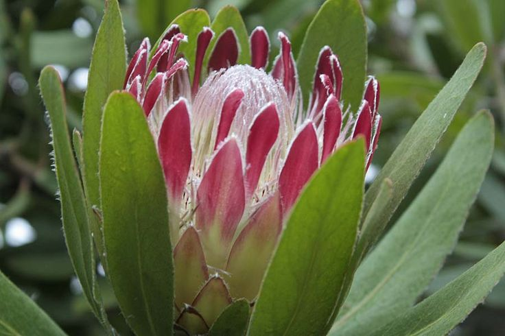 Protea Holiday Red