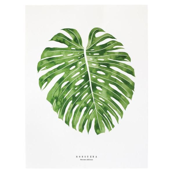 12 best monstera deliciosa images on pinterest cheese for Plante monstera