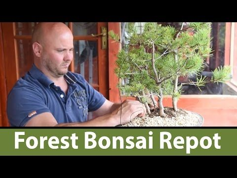130) Scots Pine Bonsai Forest Repot with Mark - YouTube
