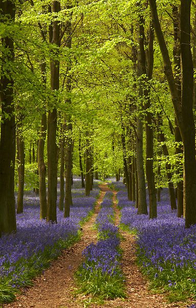Through the Bluebells, Ashridge Forest, Essex, England