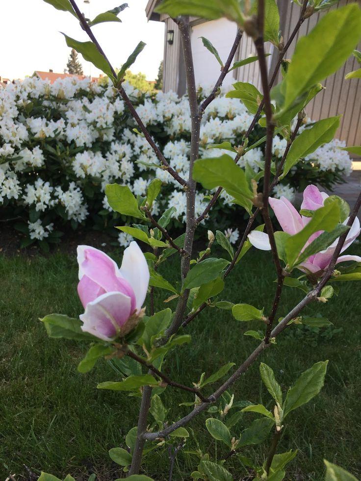 magnolia+o+rododendron+2.JPG 1200 × 1600 pixlar