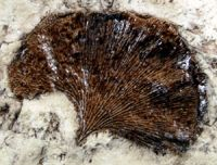 Ginkgo Fossil Leaf ~ Because ginkgo fossils over 270 million years old have been found, Charles Darwin called the tree a ''living fossil.''