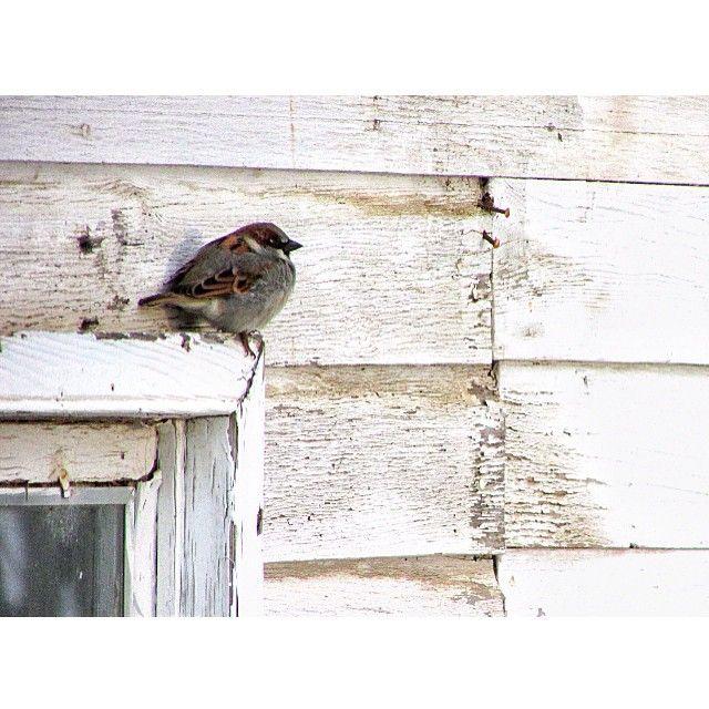 lacey_bearDarn you, invasive bird, looking all cute!