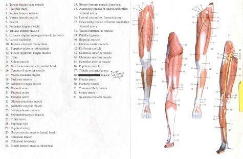 16 besten anatomy Bilder auf Pinterest   Menschliche anatomie ...