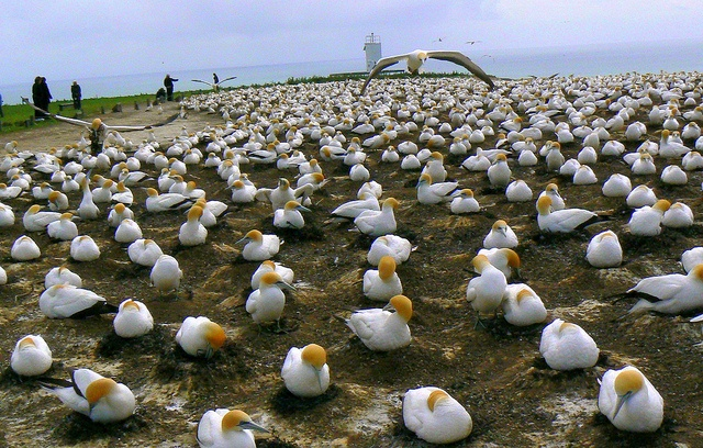 LocumLENS Finalist #3 Gaggle of gannets at Cape Kidnappers in Hawkes Bay, New Zealand. Photo courtesy of Dr. Kathryn Starkey.