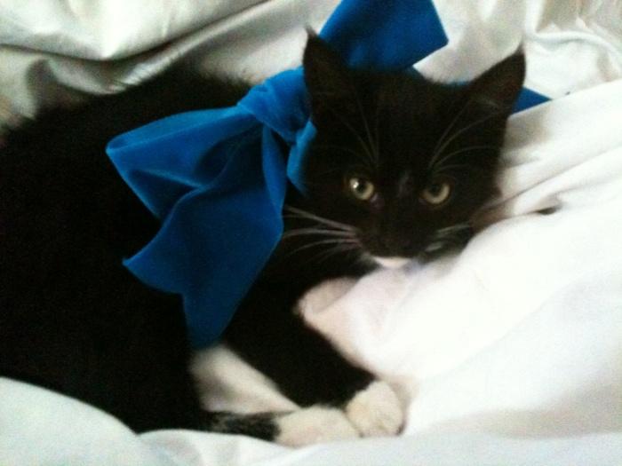 .: Blue Bows, Models Status, Black Kitty, Bows Ties, Bows 3, Cute Kitty, Pets, Kittens, White Cat