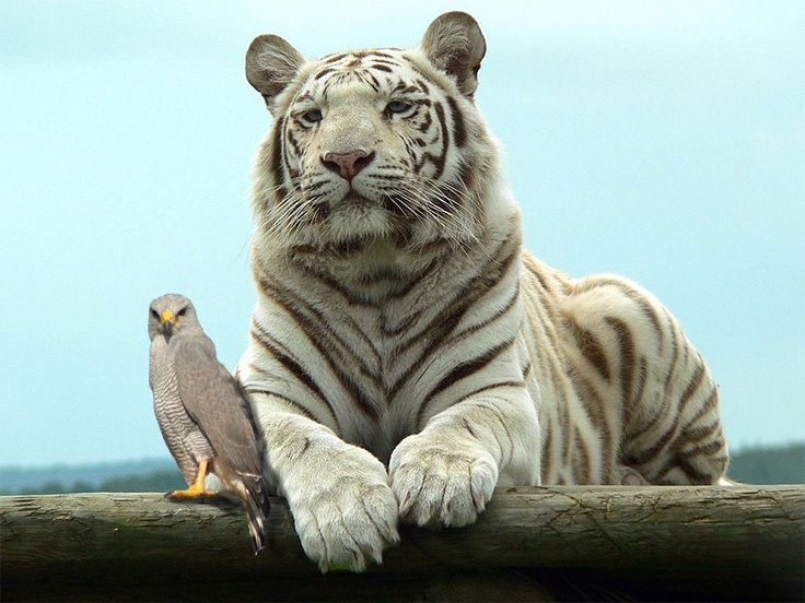 Tiger and Halcon