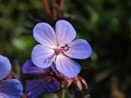 geranium himalayense - zonnige border