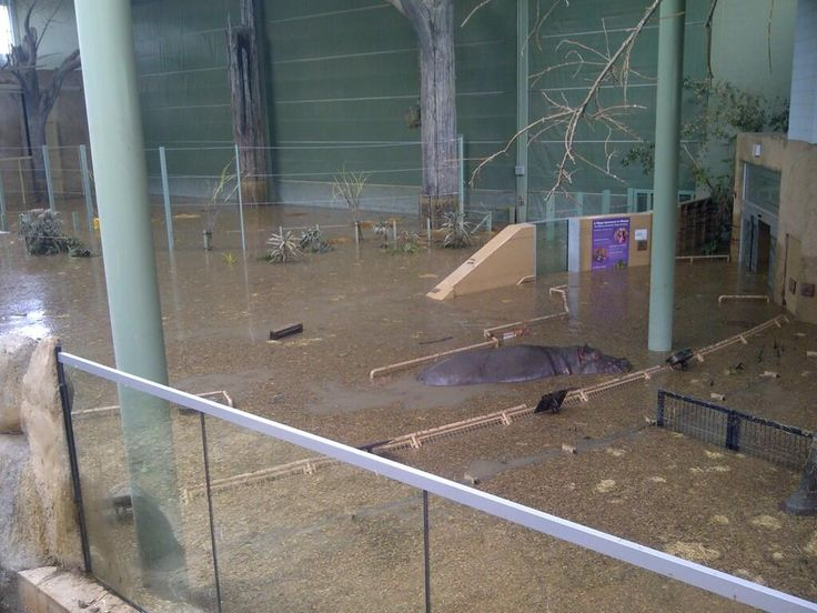 """Hippo on the loose! Calgary Zoo releases images of """"Lobi"""" exploring flooded building during crisis. #yycflood pic.twitter.com/KDnvGbQJDL"""