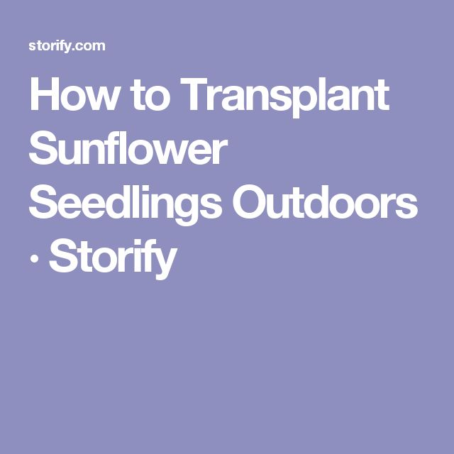 How to Transplant Sunflower Seedlings Outdoors · Storify