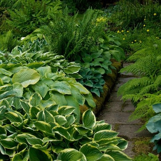 """Hosta path. Lush and fragrant (the flowers of a good number of varieties have a delicious scent), a hosta-lined path or bed would never feel out of place in a country garden. Plant the crowns in spring, in full or partial shade and soil that is well-drained but never dry."""
