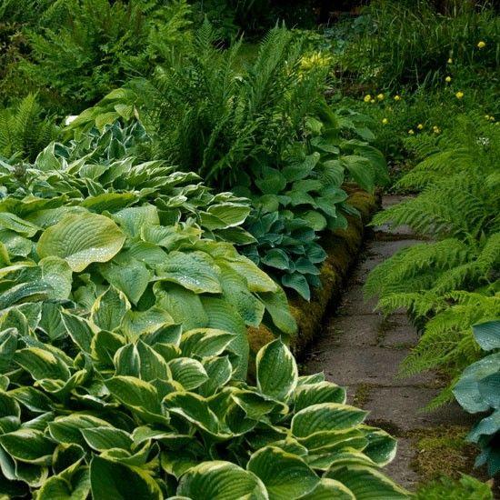17 best images about hosta flower gardens on pinterest for Hosta garden designs