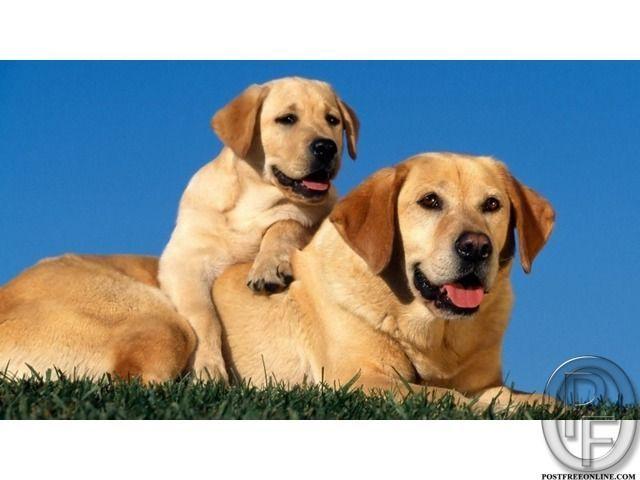 Labrador Beautiful Dog Puppies For Sale In Mumbai Maharashtra India In Pet Animals And Accessories Ca Labrador Retriever Dog Labrador Retriever Retriever Dog