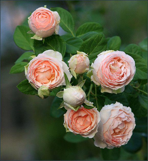 25 best ideas about david austin roses on pinterest. Black Bedroom Furniture Sets. Home Design Ideas