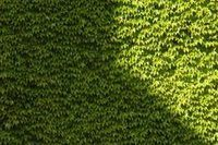 How to Get a Privet Hedge to Grow Fast | eHow