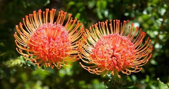Protea Plant Flower Pots Flowers Blooming Flowers