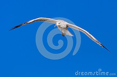 Seagull White  Blue Sky Copy Space - Download From Over 27 Million High Quality Stock Photos, Images, Vectors. Sign up for FREE today. Image: 47261870
