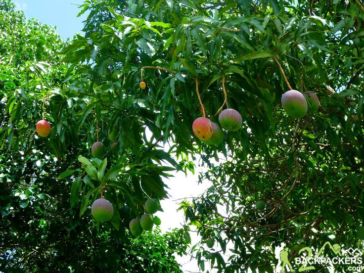 141 Best Images About Mango Varieties On Pinterest The