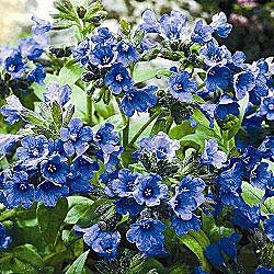 lungwort blue lake flowers for shade blue blooming lungwort has a mature height of when planted in full shade to partial shade