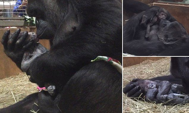 Incredible photographs show gorilla cradle and kiss her newborn baby