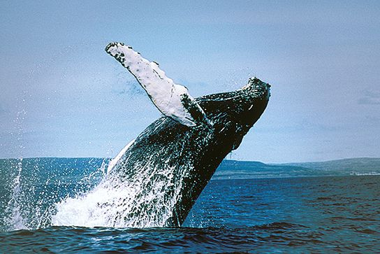 Now a Canadian Tar Sands Pipeline Threatens Endangered Whales