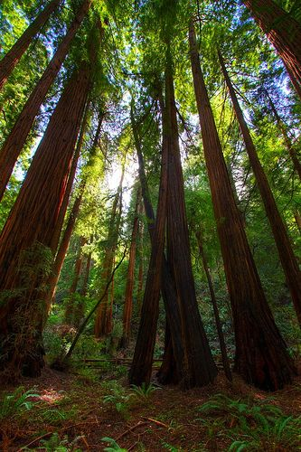 Red wood forest.  I MUST GO to there    Sunlight through Tall Trees by dgmiami, via Flickr